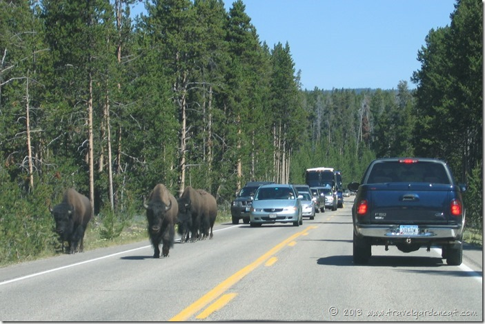 Buffalo on a Yellowstone National Park highway