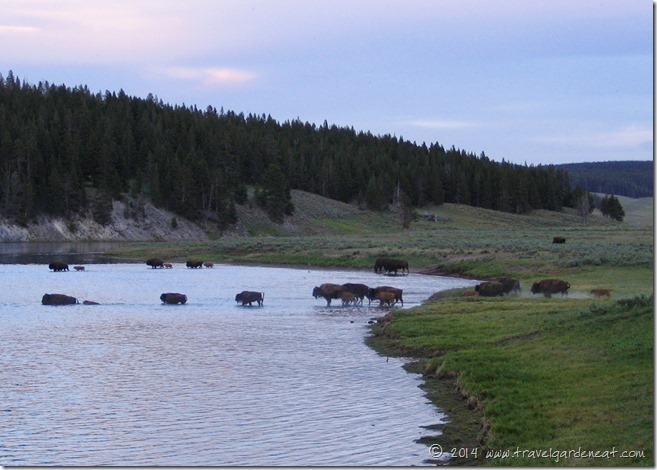 Evening buffalo crossing in Yellowstone National Park