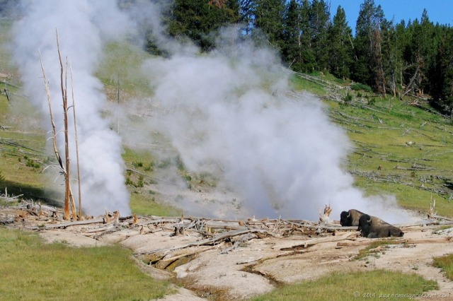 Buffalo steam-bathing in Yellowstone National Park