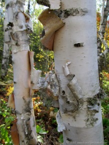 Birch Tree in Duluth