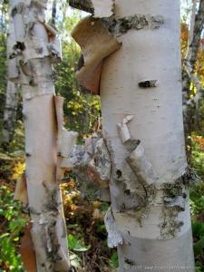 Birch Tree in Duluth