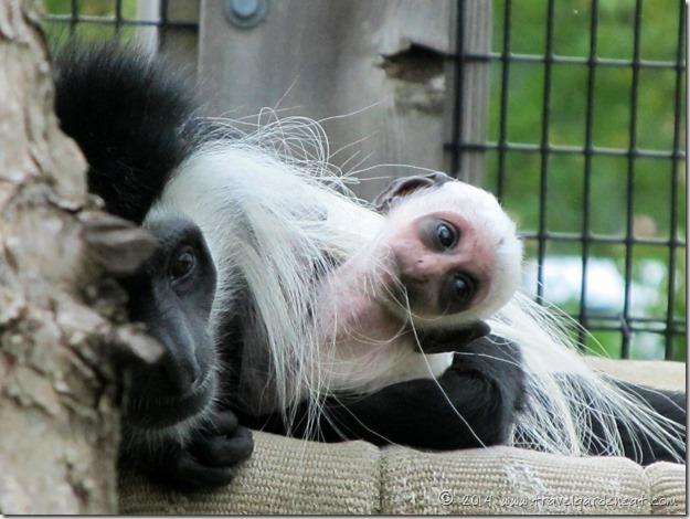 Lake Superior Zoo's Angolan colobus monkey