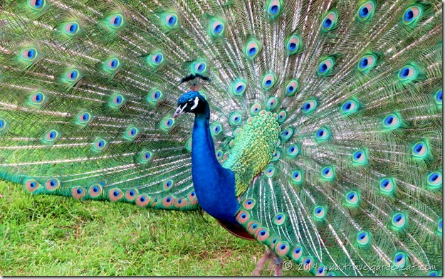 Peacock at Duluth's Lake Superior Zoo