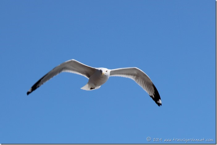 Lake Superior Seagull