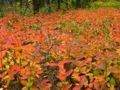 Brilliant orange-red groundcover