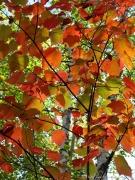 Dappled orange of fall