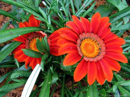 Gerbena daisies