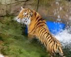 Tiger at Lake Superior Zoo