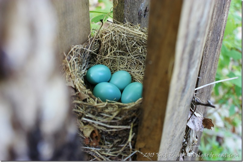 Vivid blue in the Robin's nest
