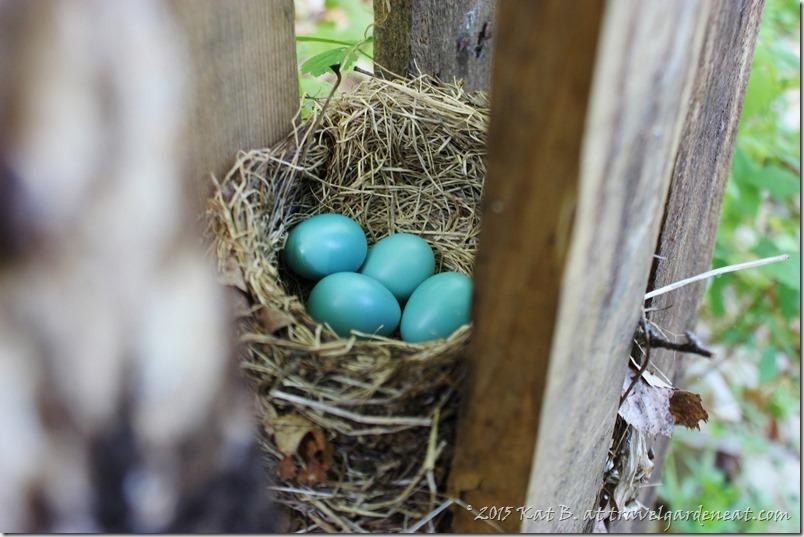 Vivid blue in the Robin's nest