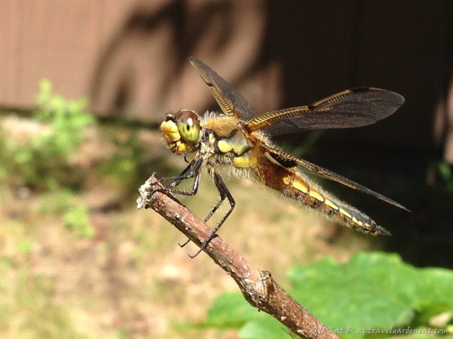 Four-Spotted Skimmer Dragonfly, Northern Minnesota