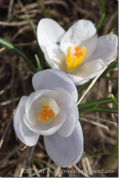 Spring Garden Flowers 20160417 5