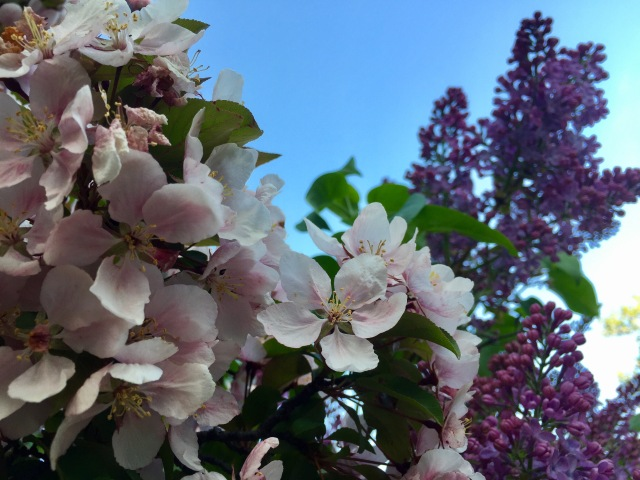 Crab Apple Blossoms and Lilacs in Duluth