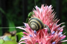 Puerto Rican snail