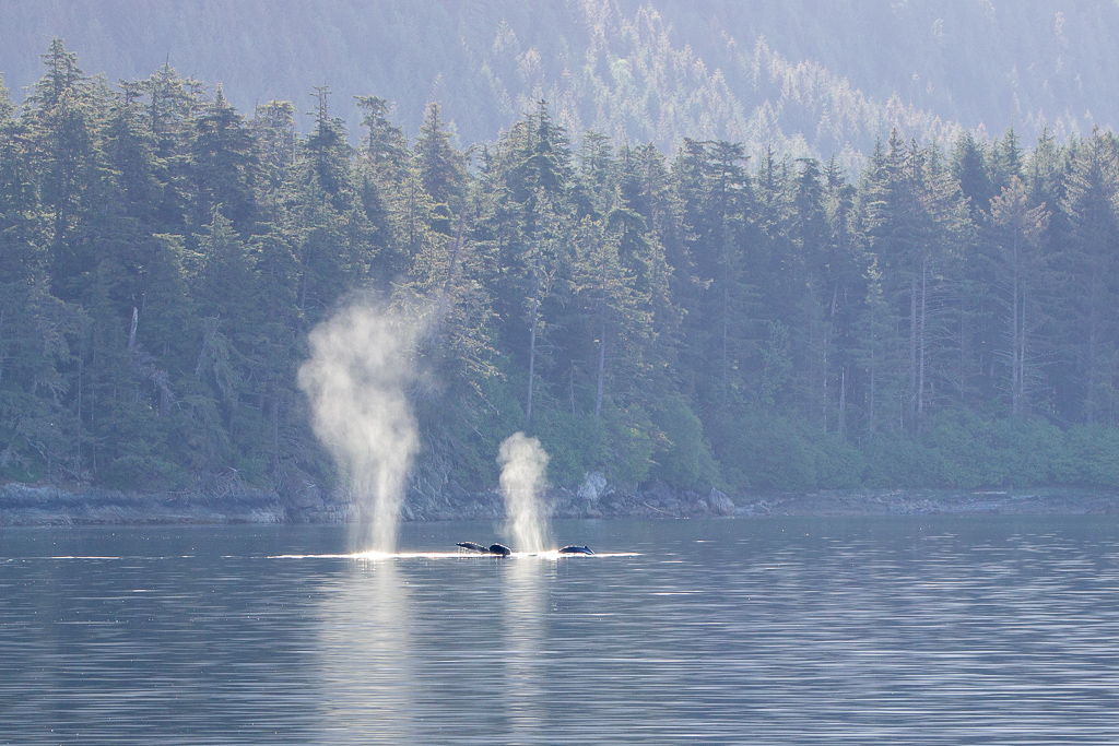 Humpback Whales in the Peril Strait, Alaska