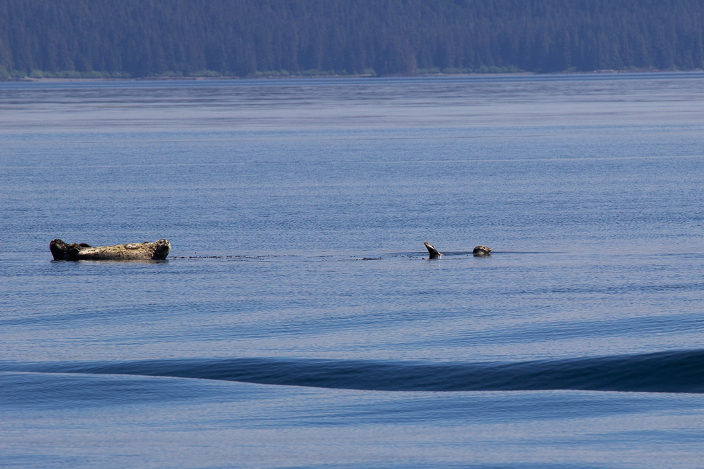 Seals in the Inside Passage of Alaska