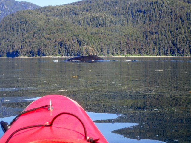 The view of humpbacks from the kayak in the Peril Strait, Alaska