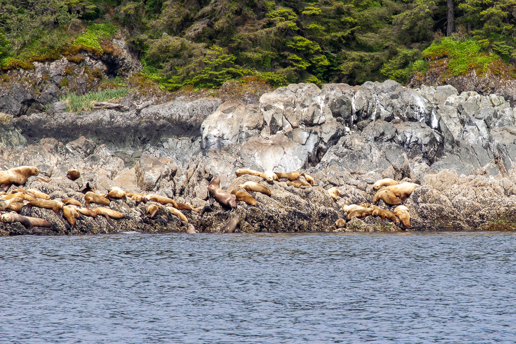 Sea lion haulout in Alaska's Frederick Sound