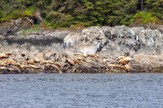 Sea lion haulout in Alaska's Frederick Sound