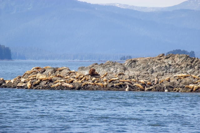 Sea lion haulout in Frederick Sound, Alaska