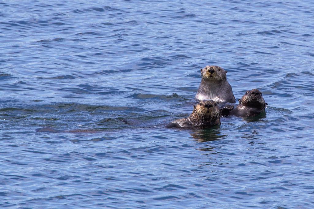 Trio of sea otters in Alaska's Inside Passage