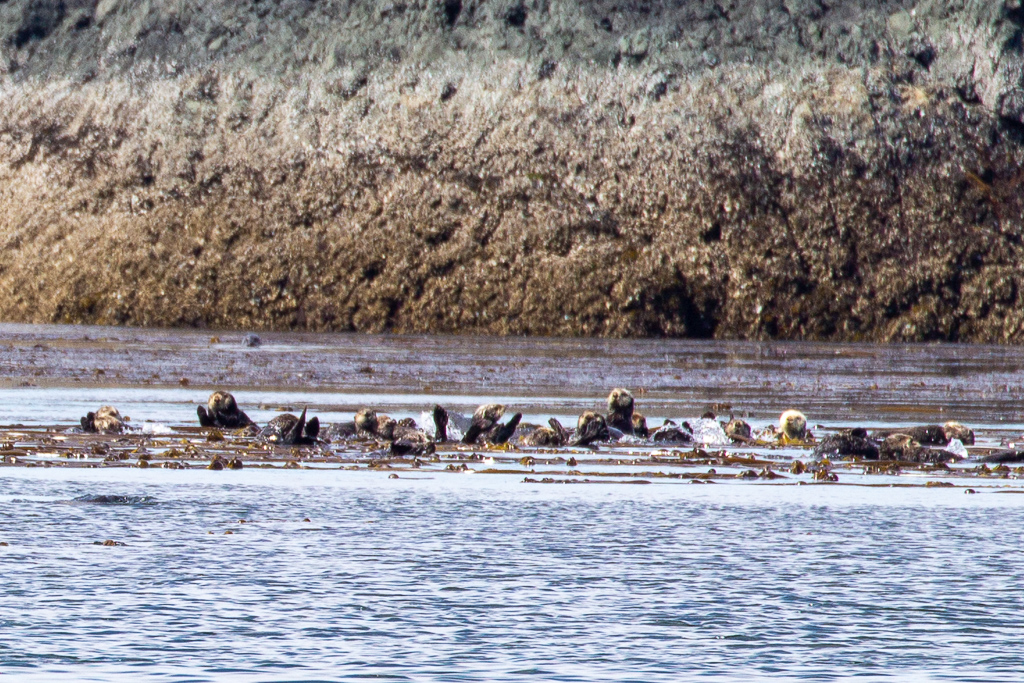 Raft of Sea Otters in Alaska's Inside Passage