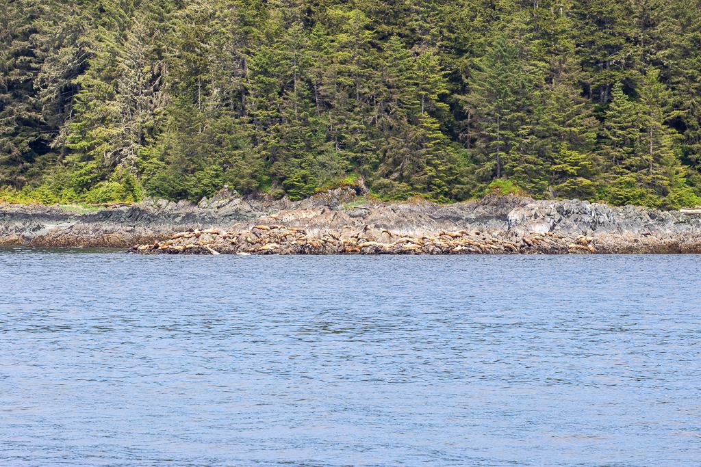 Sea lion haulout in Frederick Sound, Alaska